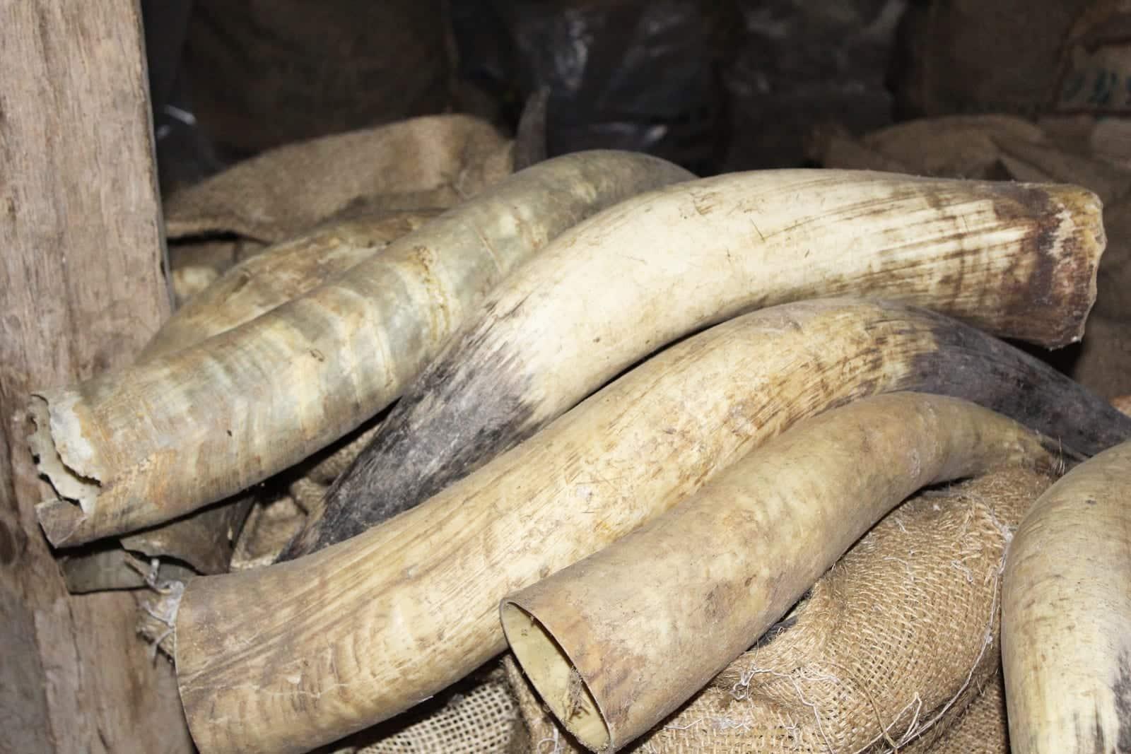 Thohr Horn Rohmaterial